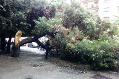 Si spezza un albero in piazza della Repubblica, nessun danno a cose e persone
