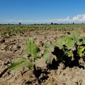 Siccità in Puglia, persi in tre giorni 1,3 milioni di metri cubi d'acqua