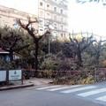 Potatura in piazza della Repubblica, per Tomasicchio uno «spettacolo devastante»