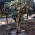 Verde pubblico, oggi la piantumazione di trenta nuovi alberi nel cortile della scuola Beltrani
