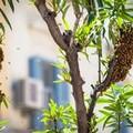 (Aggiornato) Nuovo assalto di api in Via Cavour, rimossi gli alveari