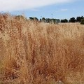 Terreni a rischio incendio a Capirro: nessuna bonifica a più di 40 giorni dall'Ordinanza