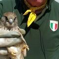 Giovane esemplare di falco grillaio ritrovato nelle periferie di Trani