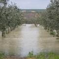Grandinate e nubifragi mettono a rischio gli ulivi pugliesi: allarme di Coldiretti