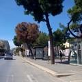 Un albero secco e pericolante in piazza Gradenico