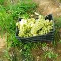 Ancora un furto d'uva sventato dalle Guardie Campestri nell'agro di Trani
