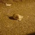 Quartiere Sant'Angelo invaso dai topi, è allarme