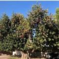"""""""Carrubbo """" di via Duchessa d'Andria, albero potato dopo la segnalazione del consigliere Centrone"""