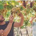 Vinificazione dei vini dolci: intervista a Domenico Valente, giovane vitivincoltore tranese
