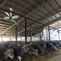 Caldo, Coldiretti Puglia: «Sos mucche nelle stalle, -10% di latte per afa»