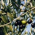 Frantoi aperti, domenica dedicata all'olio extravergine d'oliva