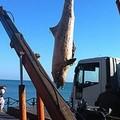 Rimossa la carcassa del delfino allo Scoglio di Frisio