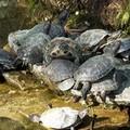 Villa, le tartarughe sono tornate nella vasca