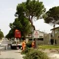 Proseguono gli interventi di manutenzione degli alberi ad alto fusto in città