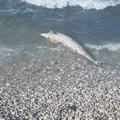 Delfino privo di vita ritrovato sulla litoranea a nord di Trani
