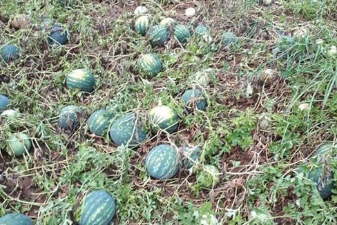 Grandinata in Puglia, danni su frutteti e campi di angurie e meloni