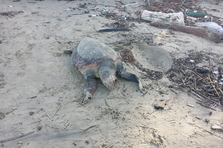 Ignoranza, superstizione, cattiveria: il litorale tra Bari e Trani cimitero di tartarughe