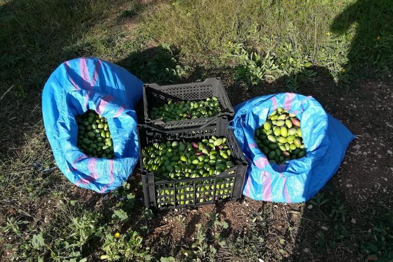 Tentato furto di olive