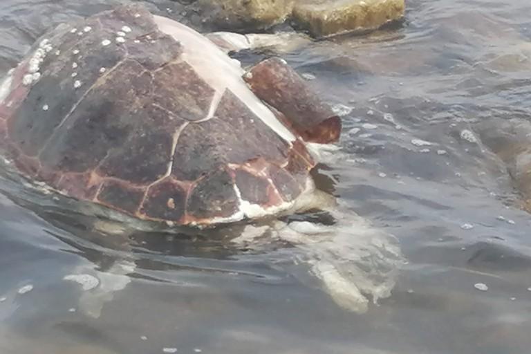 Tartaruga Caretta