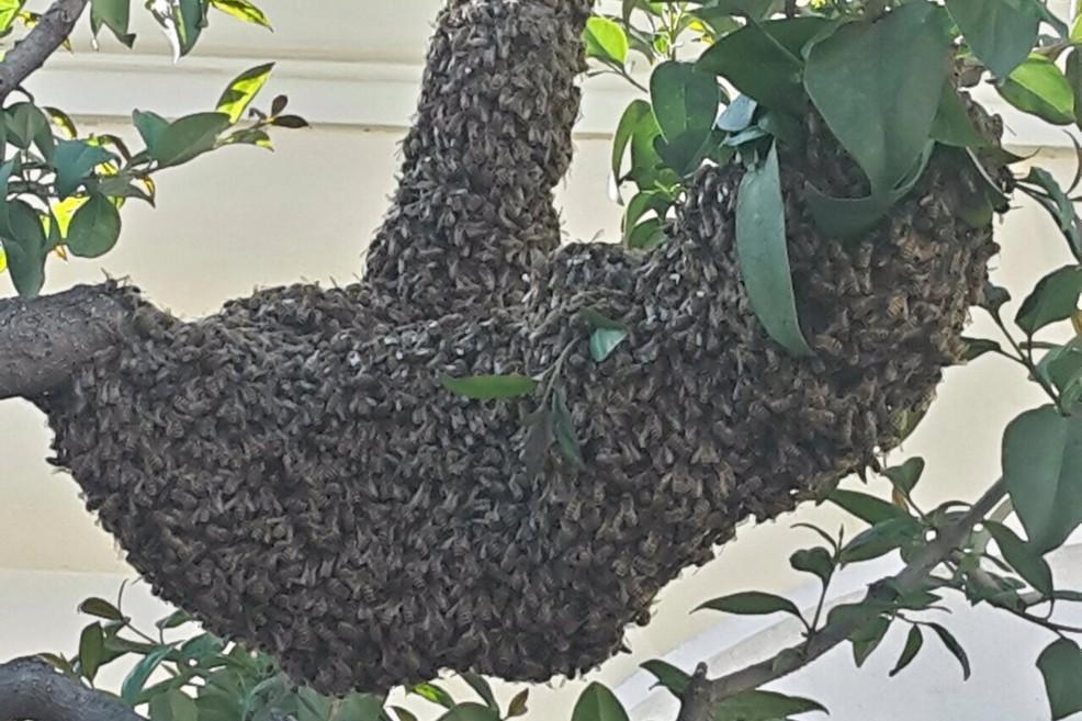 Trani in corso vittorio emanuele sciame d 39 api hanno preso d 39 assalto un albero - Nido api finestra ...