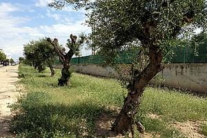 Alberi di ulivo su via Falcone