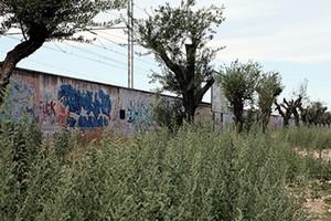 Alberi di ulivo in via Falcone a Trani