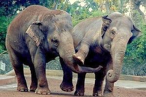 Due esemplari di elefante