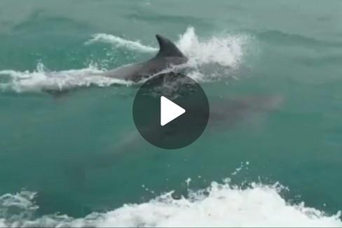 Delfini nuotano al largo di Trani