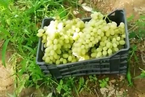 Sventato furto d'uva nelle campagne di Trani