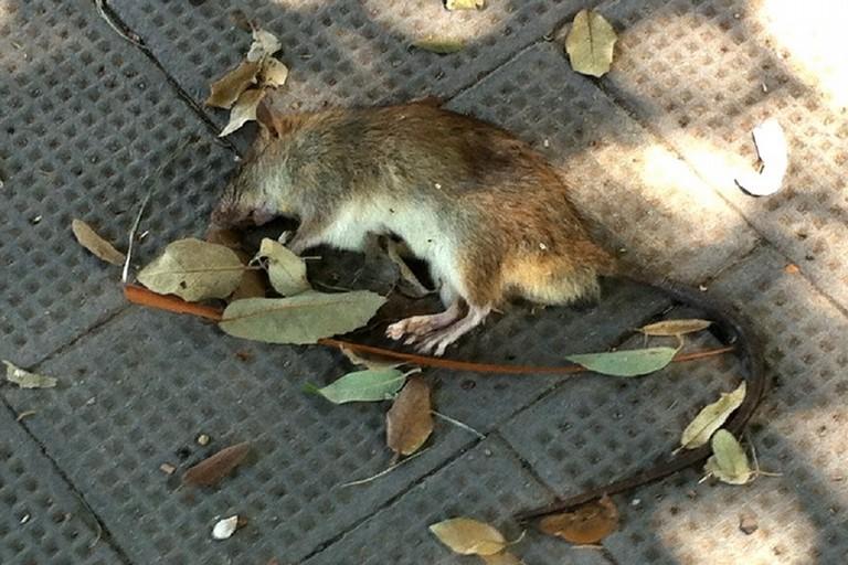 Topo morto in piazza repubblica