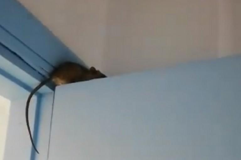 Un topo nel reparto malattie infettive dell'ospedale di Bisceglie