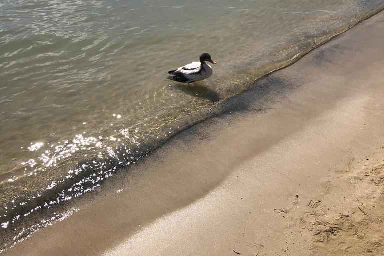 Anatra tratta in salvo alla Baia dei pescatori